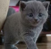 Британские котята  длинношерстные и короткошерстные